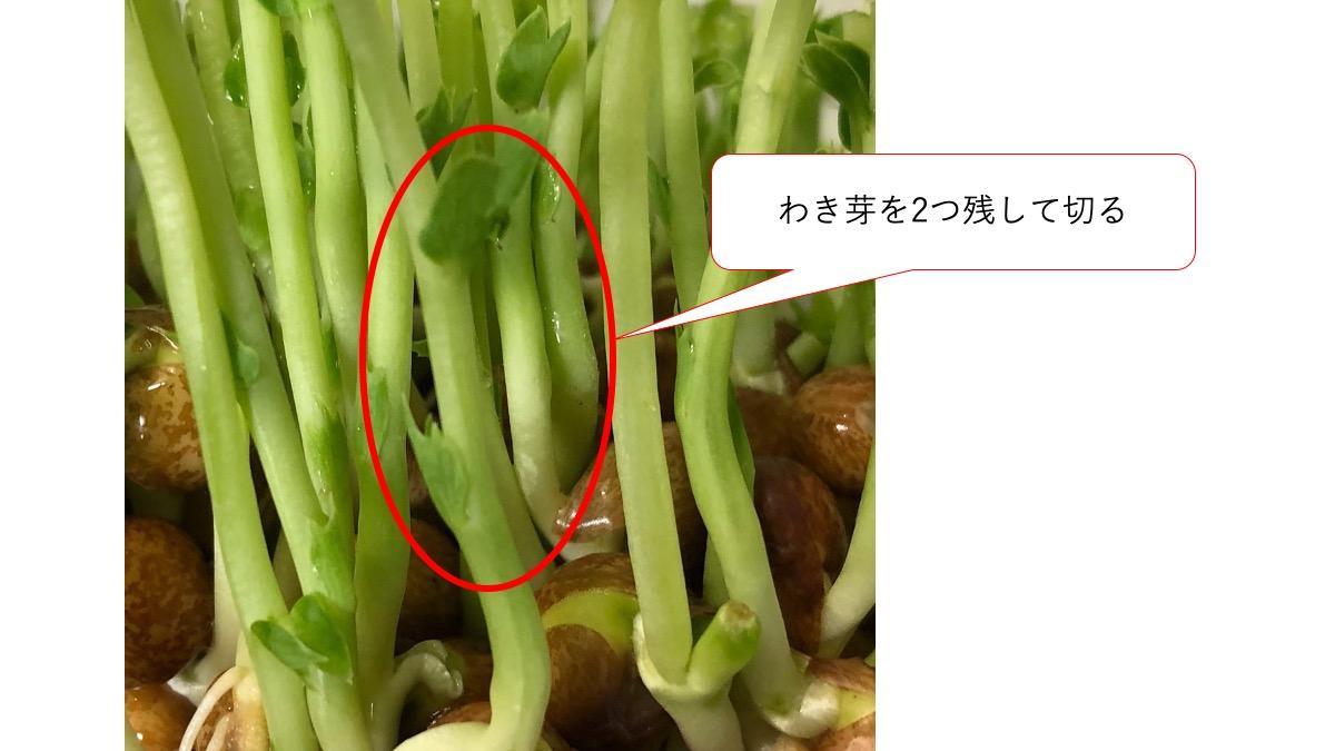 豆苗のわき芽