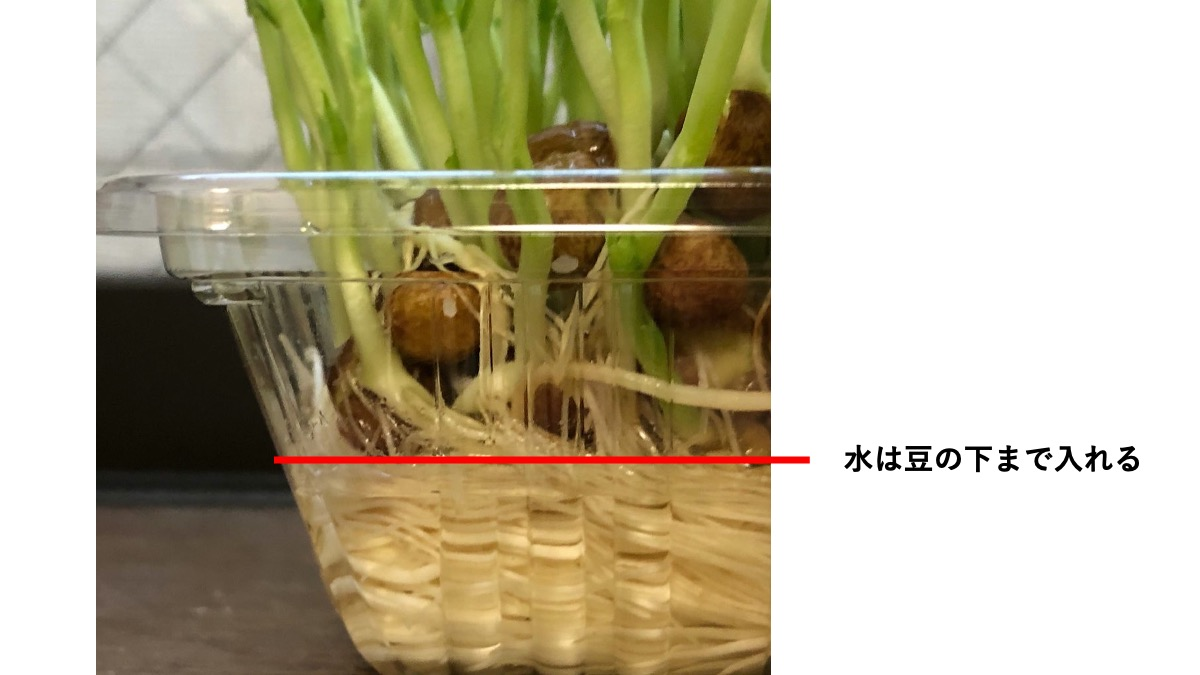 豆苗栽培での水の量